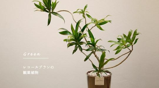 レコールブランの観葉植物